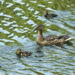 """Wild duck with ducklings"" by igorsin"