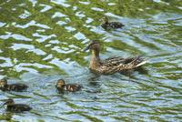 Wild duck with ducklings