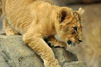 African Lion Cub born July, 2011