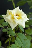 Close up of the yellow rose