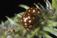 Close up of the three coupled ladybirds