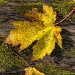 """""""Yellow Maple"""" by ZeipekisPhotography"""