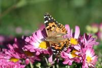 Butterfly American Painted Lady on Pink mums