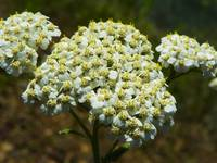 Botanical - Yarrow Flower - Outdoors Floral