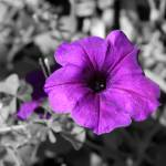 """Purple Petunia II"" by Art_by_DRIVEN"