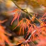 """""""Japanese Maple"""" by woolleybear"""