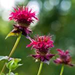"""""""Bee Balm"""" by woolleybear"""