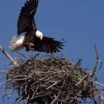 """""""Bald Eagle"""" by woolleybear"""