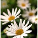 """Daisies (Bellis perennis)"" by woolleybear"
