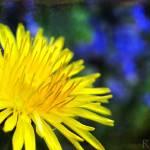 """""""Dandelion (Taraxacum officinale)"""" by woolleybear"""