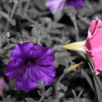 """Pink & Purple Petunias II"" by Art_by_DRIVEN"