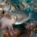 """Broadclub Cuttlefish"" by The_World_Underwater"