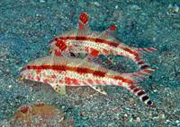 Freckled Goatfish
