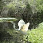 """White Heron at Brooker Creek"" by spadecaller"