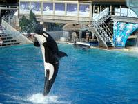 Shamu Sprays the Crowd