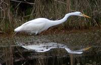 Closeup (Great Egret)