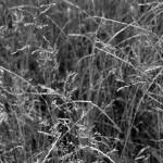 """Prairie Grass    1198 Black and White Edition"" by BarbaraLin"