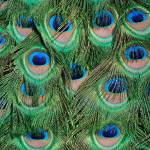 """""""Peacock Feathers"""" by psovart"""
