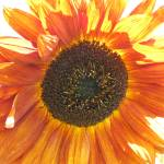 """Orange Sunflower"" by JaneKPhoto"