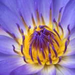 """The Lotus Flower"" by sharonmau"