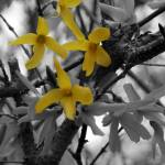 """Forsythias"" by Art_by_DRIVEN"