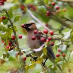 """Cedar Waxwing"" by jasonchang"