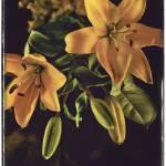 """Yellow Lilies"" by ricardosegovia"