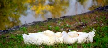 Cuddle Duck  Cluster
