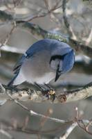 Hungry Blue Jay