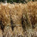 """""""Bales of Wheat"""" by AlanaMcConnon"""