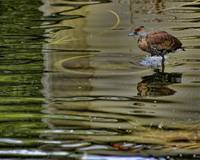 Bird in Water
