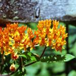 """Orange Butterfly Flower"" by eshramko"