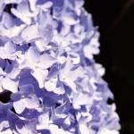 """""""Blue Hydrangea"""" by eshramko"""