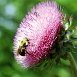 """Bumble Bee on Wild Thistle"" by eshramko"