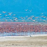 flocks of flamingo, lake nakuru, kenya