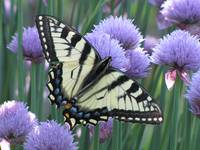 butterfly and chives