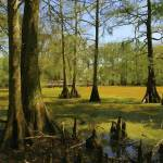 """Bald Cypress Trees Near Boardwalk - Oil"" by WallArtDeco"