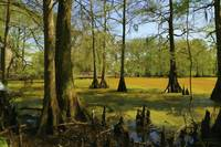 Bald Cypress Trees Near Boardwalk - Oil