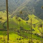 """Vax palm trees of Cocora Valley, Colombia"" by kalishko"