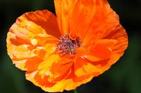 Bailey's Poppy, Heidi Brandt