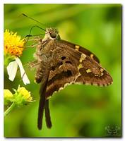 Longtailed Skipper