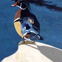 Wood Duck Art Prints & Posters by Steve St-Amour