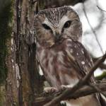 """Northern Saw-whet Owl"" by bonevulture"