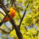 """Scarlet Tanager"" by bonevulture"