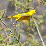 """Yellow Warbler"" by bonevulture"