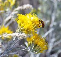 Sagebrush Bee