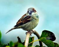 Mr. Male House Sparrow in Blue.