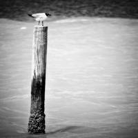 Gulf Seagull on Pier Post