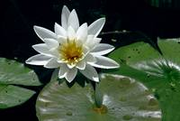 WaterLilly_0273A