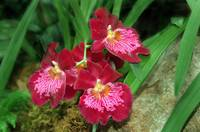 Orchid_2087A